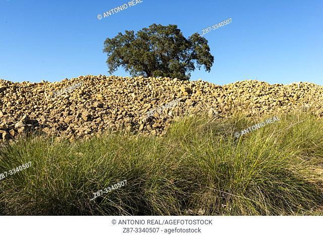 Esparto grass (Macrochloa tenacissima) and holm oak (Quercus ilex). Corral-Rubio. Albacete province, Castile-La Mancha, Spain