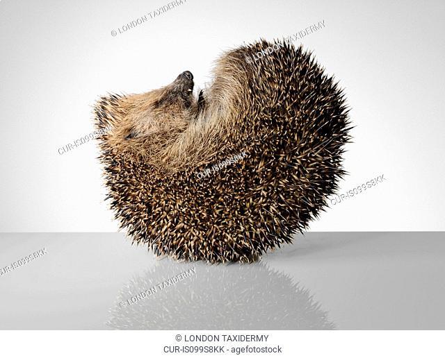 Hedgehog, curled up