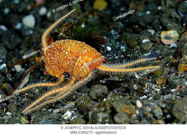 Brittle stars inside portion of sea urchin test, Anacapa Island, California, USA