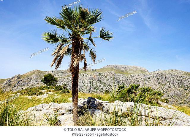 Palmito, Chamaerops humilis, Finca Pública Galatzó, Calvia, Mallorca, balearic islands, spain, europe