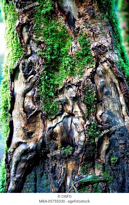 Germany, Baden-Württemberg, Black Forest, Wutach Gorge, detail, knobby moss-covered trunk