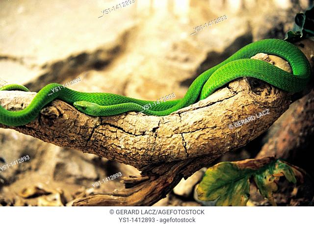 GREEN MAMBA dendroaspis angusticeps ON BRANCH