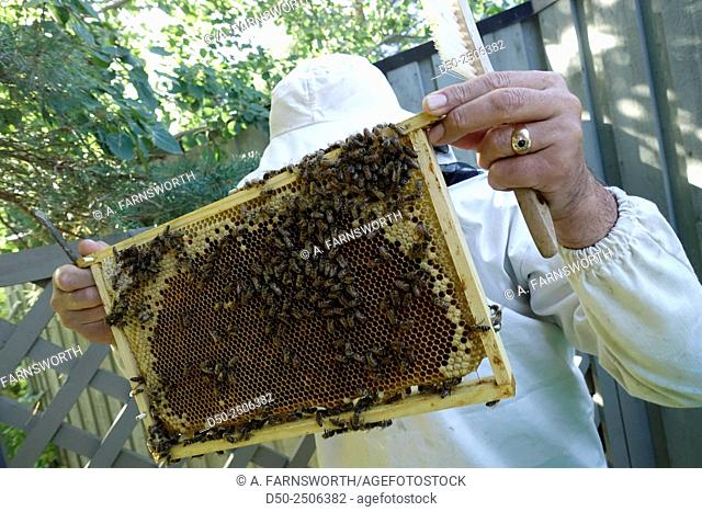 Beehive and beekeeper, Stockholm, Sweden