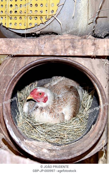 Chicken in nest inside brass of milk in rural area, Guaxupe, Minas Gerais, Brazil, 04.2017