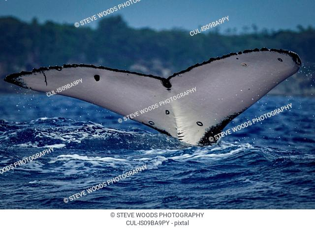 Humpback whale (Megaptera novaeangliae) in the waters of Tonga