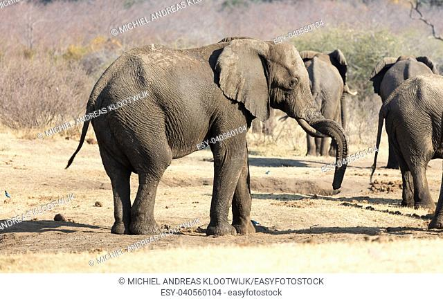 Group of african elephants at a waterhole (Namibia)