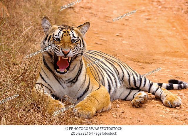 Tiger- Chandi female cub, Panthera tigris, Umred-Karhandla Sanctuary, Maharashtra, India