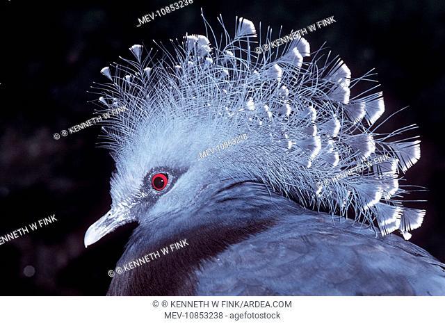 VICTORIA CROWNED PIGEON (Goura victoria)