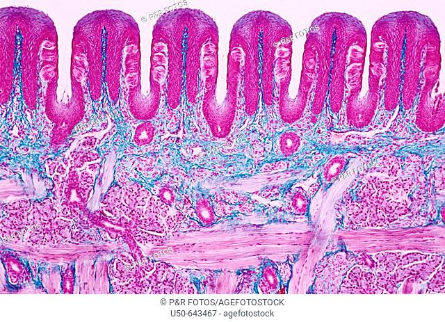 Coronal cross-section of tongue. Papilae visible. 400 X. Photomicrography