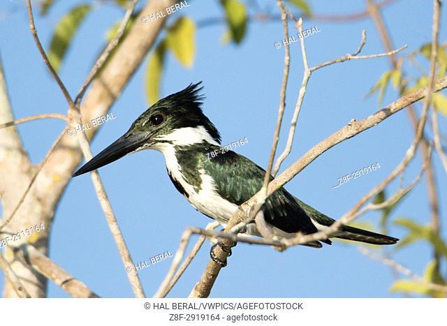 Ringed Kingfisher female (Megaceryle torquata) Pantanal, Brazil
