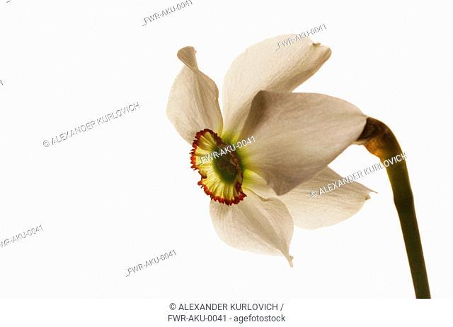 Narcissus poeticus, Narcissus