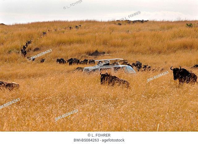 blue wildebeest, brindled gnu, white-bearded wildebeest (Connochaetes taurinus), tourist-bus in migrating herd of wildebeest, Kenya, Central, Masai Mara NP