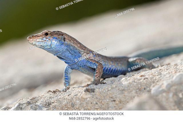 Lizard (Podarcis lilfordi); Cabrera; Balearic islands; Spain