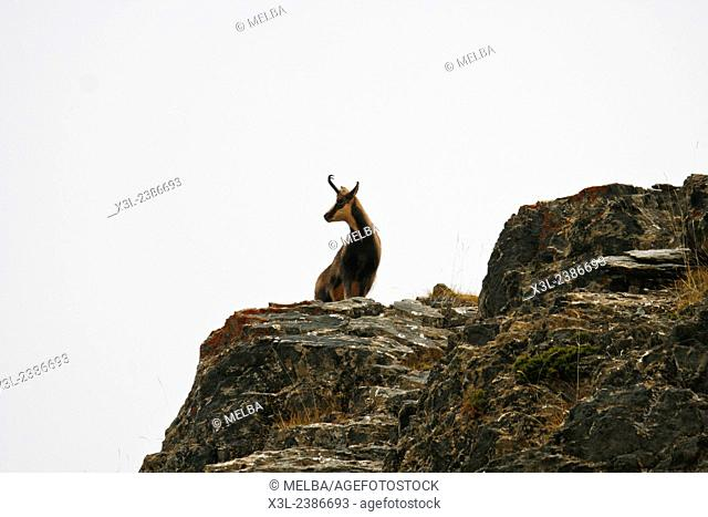 Chamois in the spanish pyrenees(Rupicapra rupicapra).Ordesa National Park. Huesca, Aragon. Pyrenees, Spain
