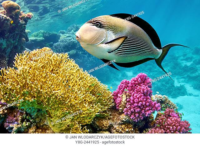 Red Sea - underwater view at fishes and coral reef, Marsa Alam, Egypt