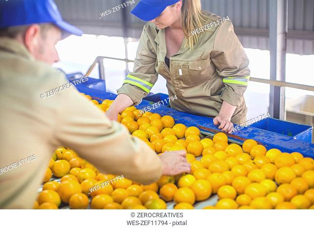Workers on orange farm picking oranges from conveyor belt