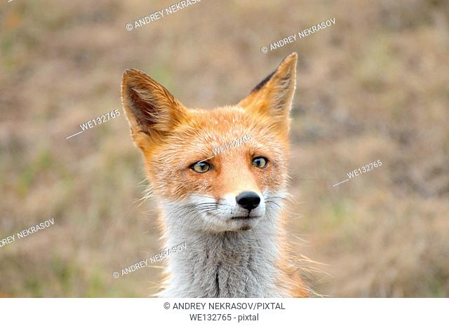Portrait of a curious, wet red fox (Vulpes vulpes), Vladivostok, Far East, Russia