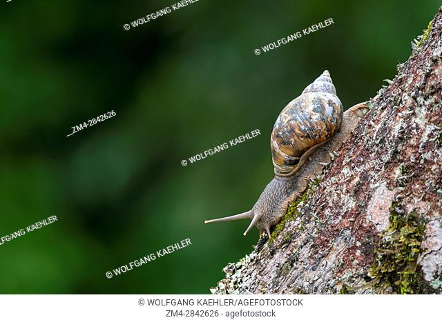 View from the observation tower of a snail on a branch in the rain forest canopy in the rain forest near La Selva Lodge near Coca, Ecuador