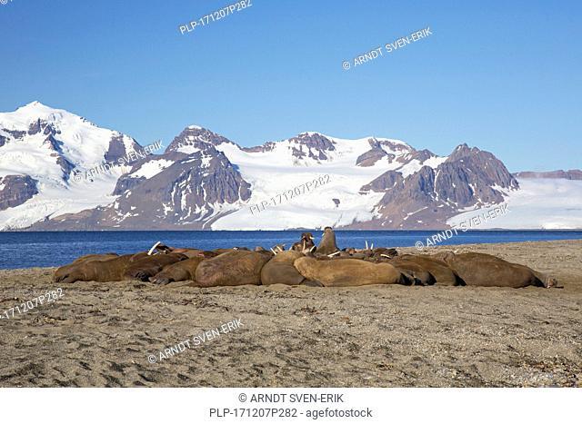 Group of male walruses (Odobenus rosmarus) resting on beach at Phippsøya in Sjuøyane, archipelago north of Nordaustlandet, Svalbard, Norway