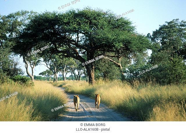Rear View of Lioness Panthera leo Pair Walking on the Dirt Road  Savuti, Chobe National Park, Botswana