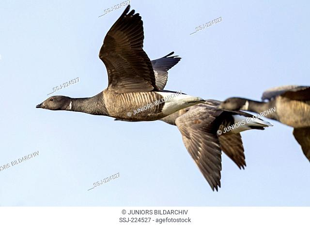 Brent Goose (Branta bernicla). Three adults in flight. Germany