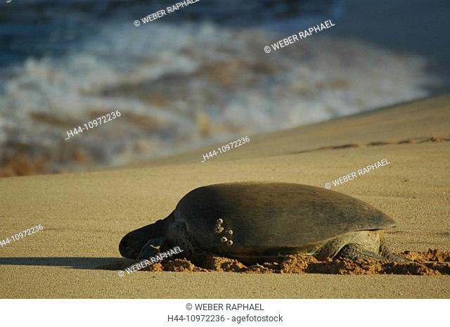 Ascension, Ascension Island, coast, tortoise, green turtle, turtle, Chelonia mydas, beach, seashore, sand beach, sea, waves, morning
