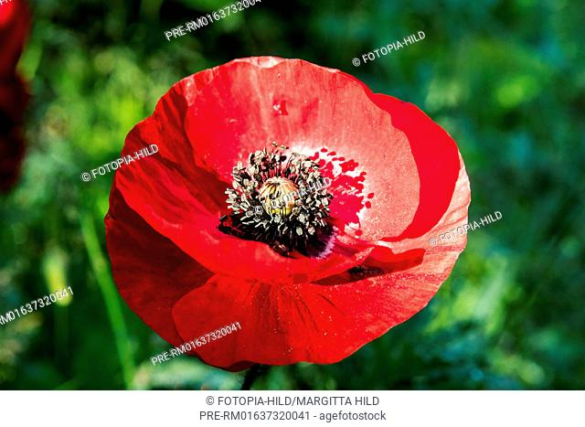 Common Poppy, Papaver rhoeas, Scheden, Dransfeld, Göttingen district, Lower Saxony, Germany, Europe / Klatschmohn, Papaver rhoeas, Scheden, Dransfeld