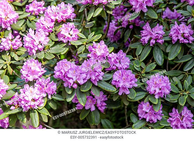 Attractive broadleaf evergreen shrub with lavender flowers in spring