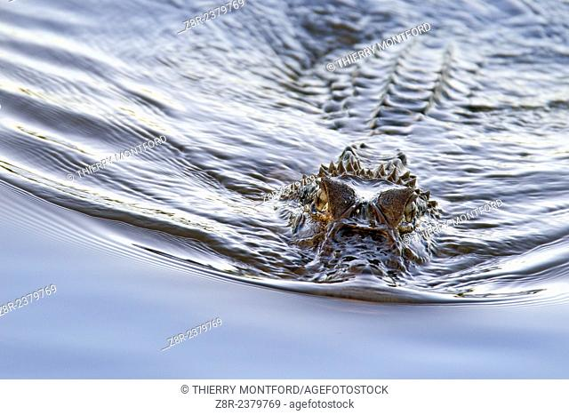Melanosuchus niger. Black caiman in the Kaw river. French Guiana