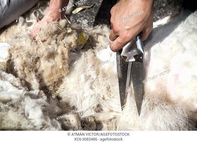Sheep shearing in La Orotava village (Tenerife island)