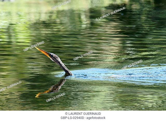 Animal, Bird, Biguatinga, Pantanal, Mato Grosso do Sul, Brazil
