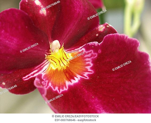 Orchid Miltonia sp