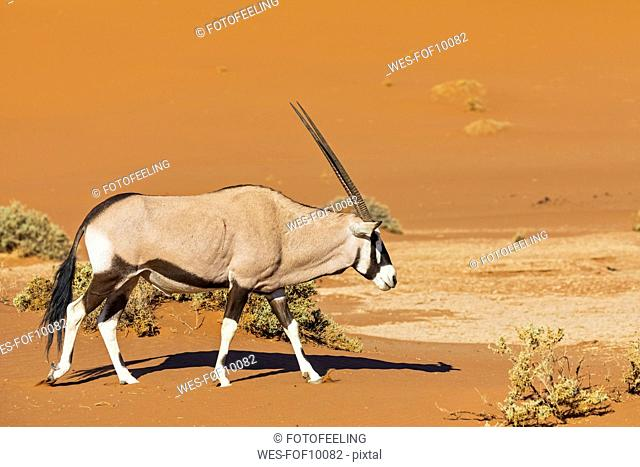 Namibia, Namib-Naukluft National Park, Gemsbok walking, Oryx gazella