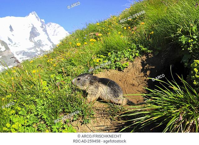 Alpine Marmot young at burrow Upper Tauern national park Austria Marmota marmota Alps