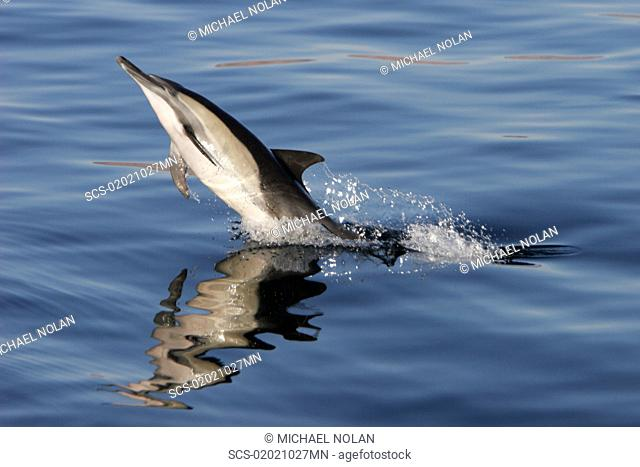 Long-beaked Common Dolphin Delphinus capensis leaping at sunrise in the Gulf of California Sea of Cortez, Mexico