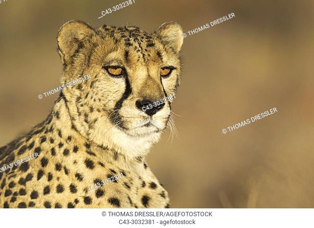 Cheetah (Acinonyx jubatus). Male. Photographed in captivity on a farm. Namibia