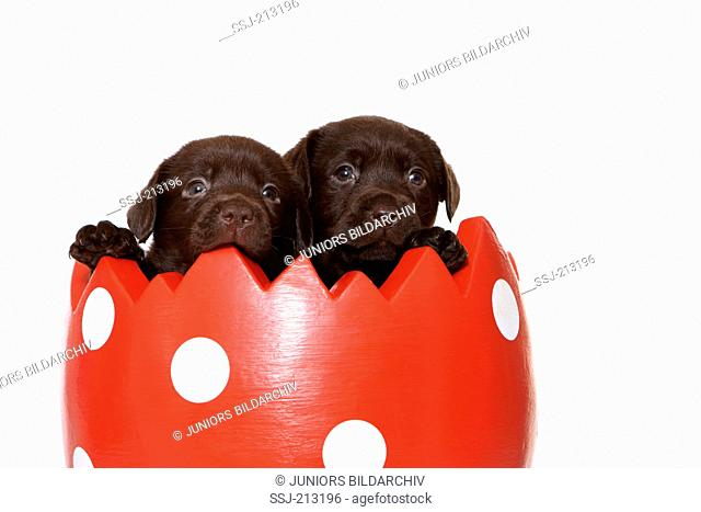 Labrador Retriever. Two puppies (6 weeks old) looking out from a decorative pot, looking like an eggshell. Studio picture against a white background