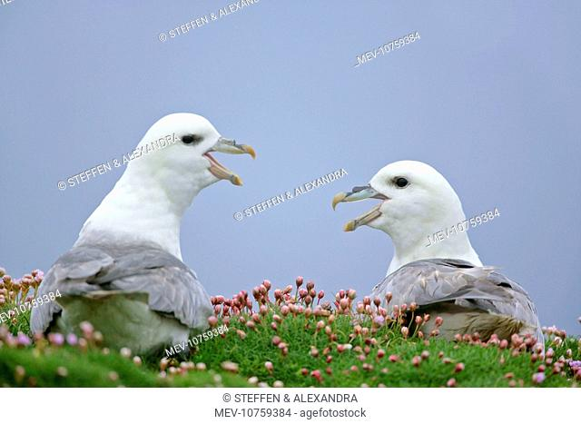 Fulmar - two adults defending their nests - in sea thrift (Fulmarus glacialis)