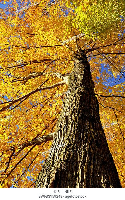 maple (Acer spec.), tree top in autumn colouration, USA, New Hampshire, White Mountain