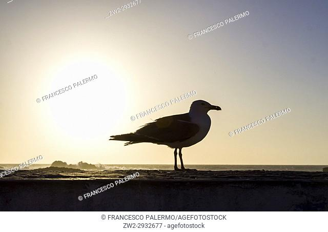 The seagull watch away of mogador city at dusk. Essaouira, Marrakech-Safi. Morocco