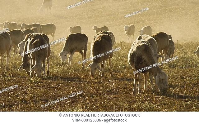 Flock of sheep. Albacete province. Spain
