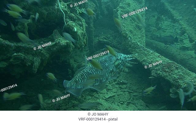 cuttle fish. Thailand