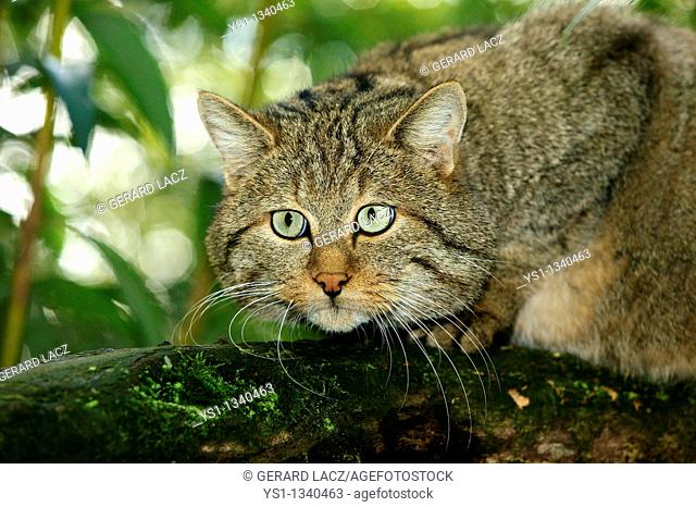 EUROPEAN WILDCAT felis silvestris, PORTRAIT OF ADULT ON BRANCH