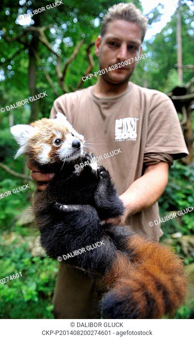 The first red panda cub was born on May 30 in ZOO Zlin. Zoologist Roman Vrzal holds a male of red panda. The Red panda is pictured in Zlin, Czech Republic