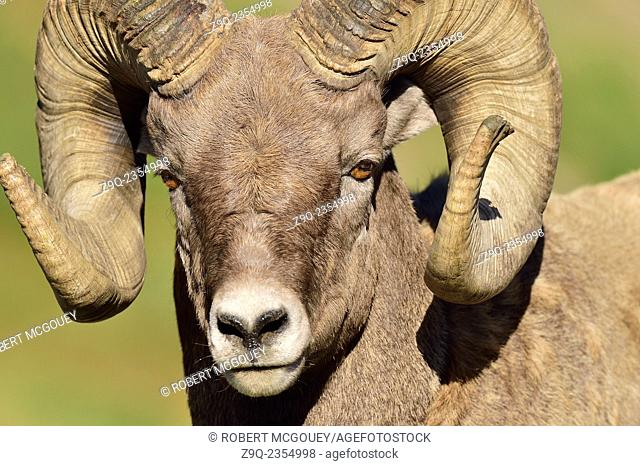A close up portrait view of a bighorn ram Orvis canadensis, taken in fall sunlight