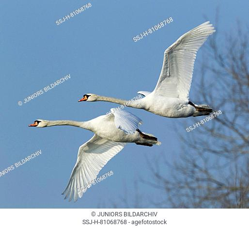 Mute Swan (Cygnus olor), pair in flight. Germany