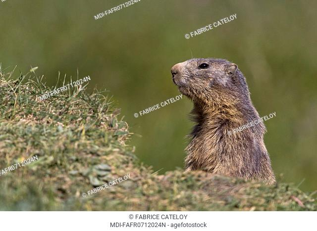 Nature - Fauna - Marmot - Marmot watching out in the natural regional park of Queyras
