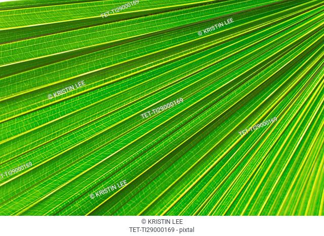 Extreme close up of palm leaf
