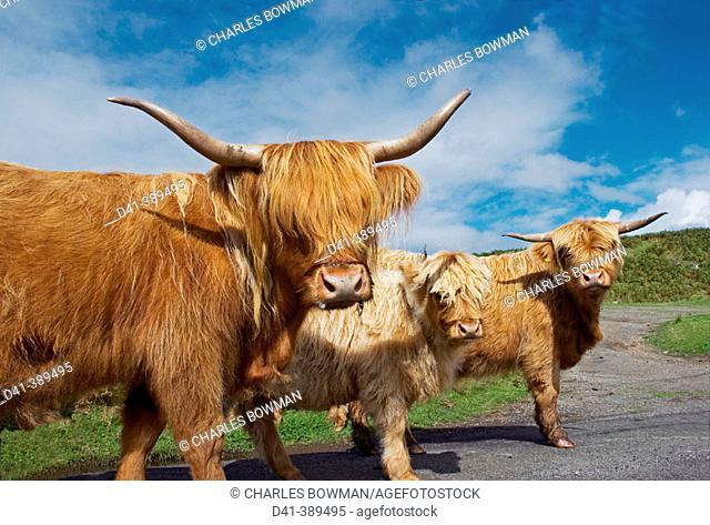 Uk, scottish highland cattle