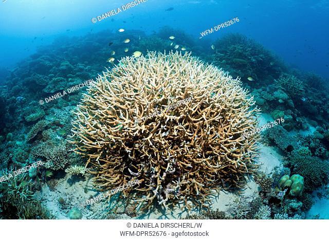 Branching Coral, Acropora sp., North Male Atoll, Maldives